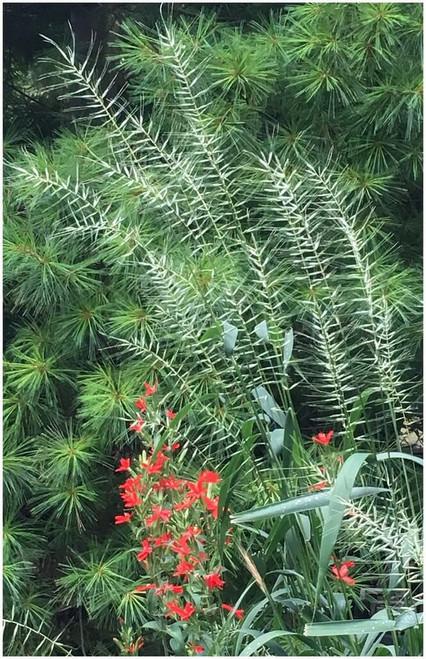 Bottle Brush Grass - Elymus hystrix - showy native grass