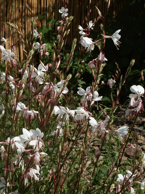 Beeblossom - Gaura lindheimerii 'Summer Breeze' - drought tolerant and long flowering perennials
