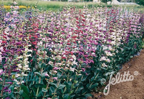 Penstemon grandiflorus 'Prairie Jewel' - Large Penstemon 'Prairie Jewel' - drought tolerant perennials