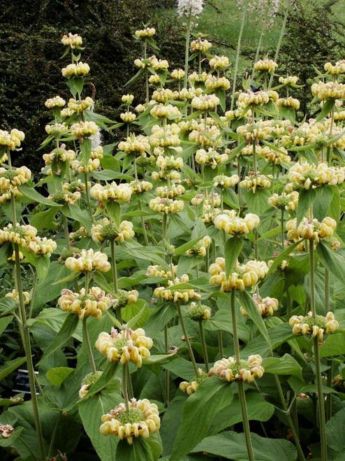 Phlomis russeliana - Jerusalem Sage - perennials for dry shade