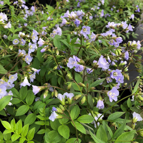 Jacob's Ladder - Polemonium reptans - superb native groundcover perennial