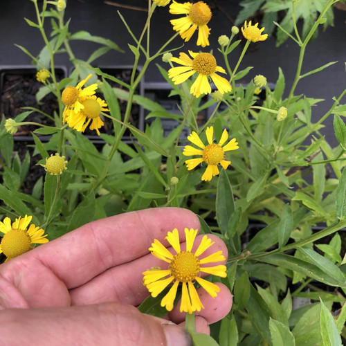 Helenium - Sneezeweed - rabbit and deer resistant perennial