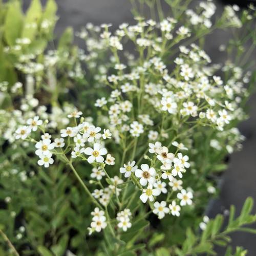 Euphorbia colorata - Flowering surge - great pollinator plant