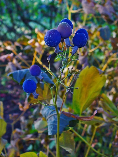 Blue cohosh - perennial with high autumn interest