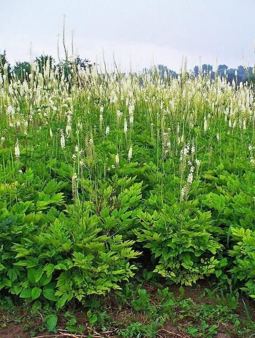 Cimicifuga racemosa - long -lived architectural perennial