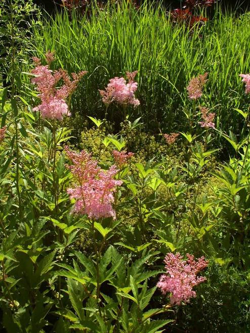 Filipendula rubra 'Venusta' - Queen of the Prairie 'Venusta'  - perennial for moist soil or clay