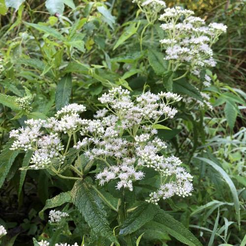 Boneset - Eupatorium perfoliatum - perennial with fragrant flowers, deer resistant plant