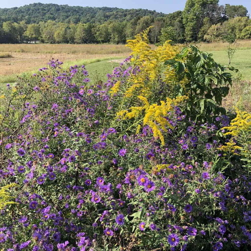 Aster novae-angliae - New England Aster with another perennial - Solidago canadensis in prairie planting