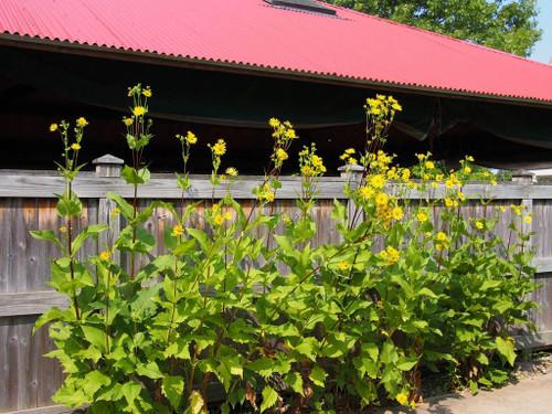 Silphium integrifolium -  Rosinweed is drought and deer tolerant perennial