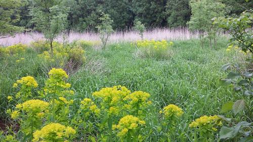 Bog Spurge  Euphorbia palustris deer resistant perennial for clay soil