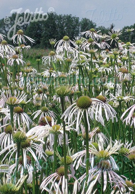 Echinacea pallida 'Hula Dancer' - drought tolerant perennial, good for pollinators and birds