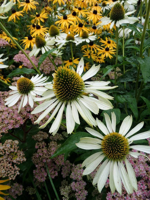 Echinacea purpurea 'Baby Swan White' - long flowering perennials
