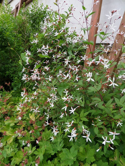 Gillenia trifoliata - long living perennial and deer and rabbit resistant plant