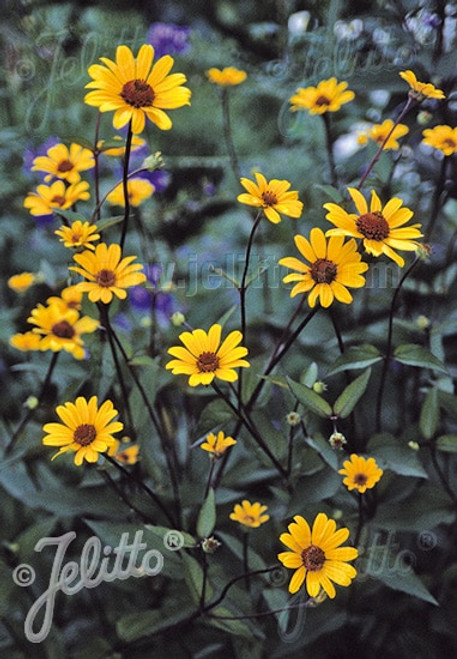 Heliopsis helianthoides var scabra - perennial for monarch, pollinator and birds