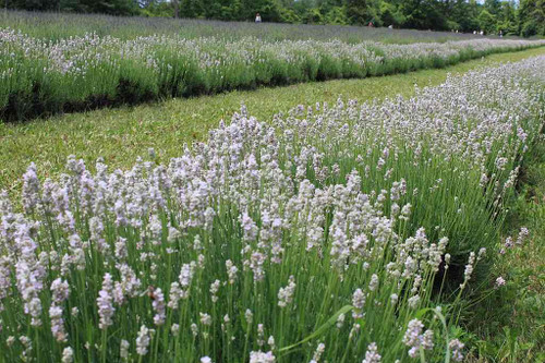 English Lavender 'Melissa' - perennials for drier or drained soils in sunny garden