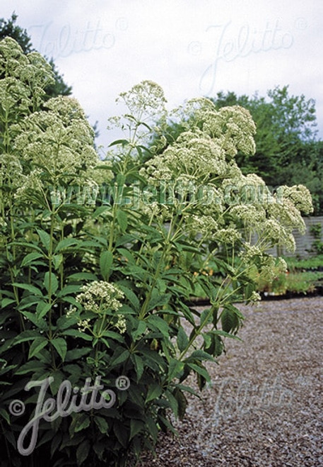 Eupatorium fistulosum var. albidum 'Ivory Towers' - joe pye weed - perennial for birds, monarchs and bees