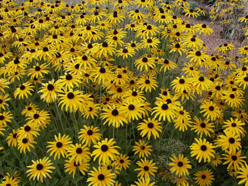 Rudbeckia Goldsturm - Black Eyed Susan - the whole summer flowering perennial
