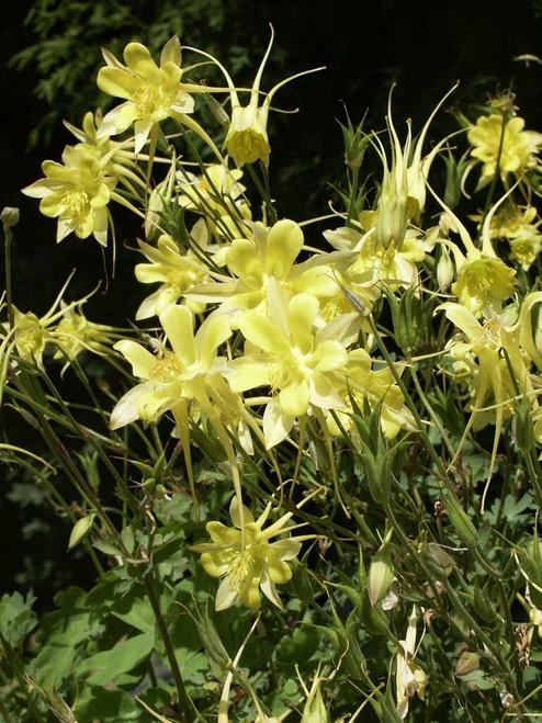 Aquilegia chrysantha - very showy perennial for half shade