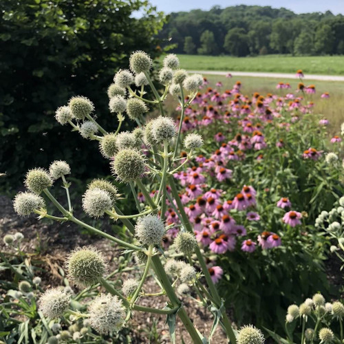 Rattlesnake Master - sun loving perennial in full bloom