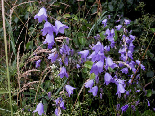 Campanula rotundifolia 'Olympica' - American Harebell 'Olympica' - perennials for sun