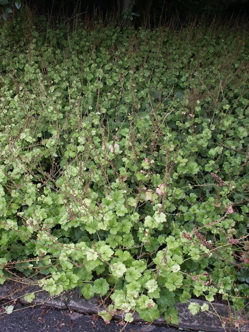 Tellima grandiflora - Fragrant Fringed Cup - excellent perennial groundcover for dry shade