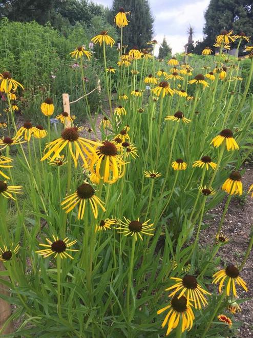Echinacea paradoxa - Bush's Coneflower - drought tolerant perennials
