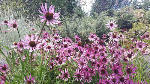 Tennessee Coneflower 'Rocky Top' - Echinacea tennesseensis 'Rocky Top' - reliable and underused perennial for sunny flower bed, or any dry garden