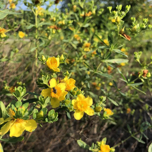 Shruby St. John's Wort - Hypericum prolificum - good pollinator and butterfly plant