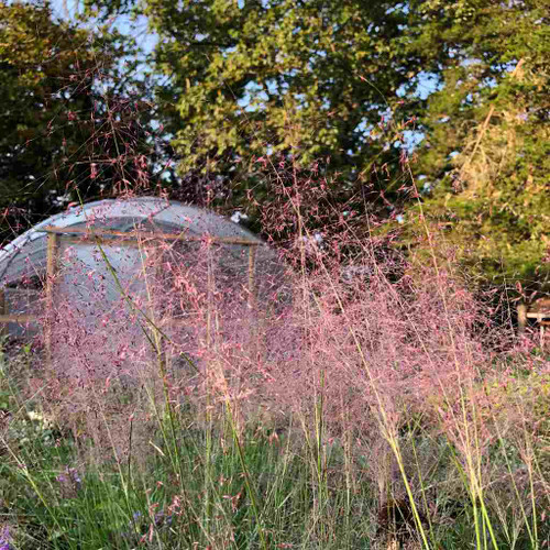 Pink Muhly Grass - Muhlenberbia capillaris - drought tolerant native grass
