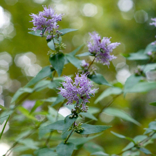 Dittany - Cunila origanoides - scented native perennial for monarchs and pollinators