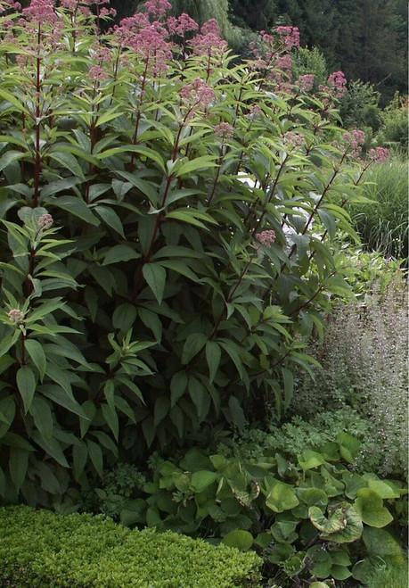 Eupatorium fistulosum Atropurpureum - Hollow joe pye weed - clay tolerant perennials