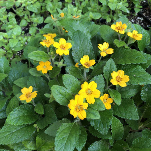 Green and Gold - Chrysogonum virginianum var. australe - fast growing ground covering perennial