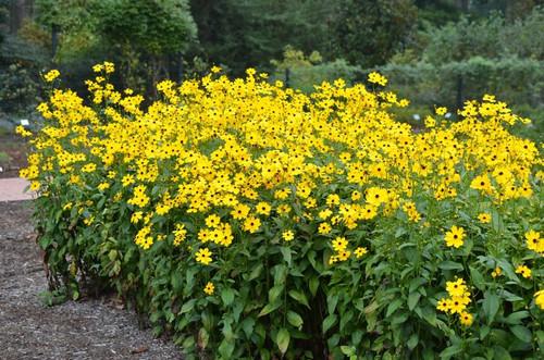 Coreopsis palustris 'Summer Sunshine'  - superb late flowering perennial for sun