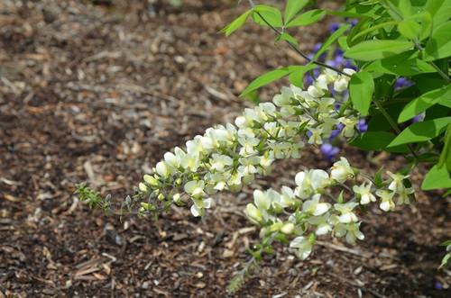Cream white Indigo - Baptisia bracteata - deer and rabbit resistant plants