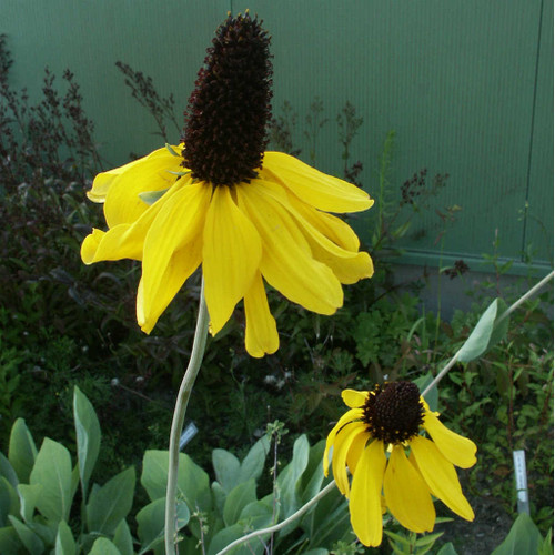 Rudbeckia maxima  - Large Coneflower - is robust and structural perennial