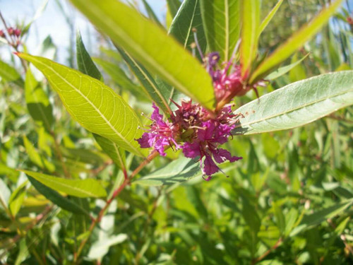 Swamp Loosestrife - Decodon verticillatus - native wildflower and water perennial