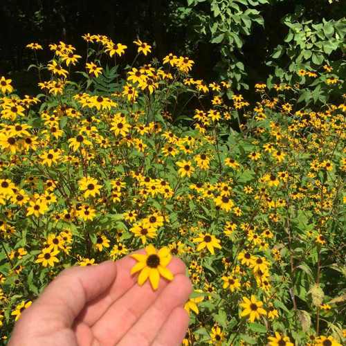 Rudbeckia triloba - Brown- Eyed-Susan - easy to grow perennial for beginners