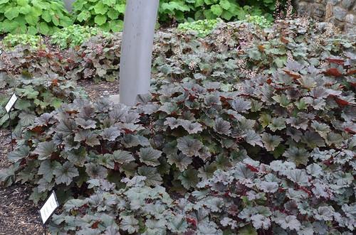 Coral bells - Heuchera 'Bronze Wave' - ground covering perennials
