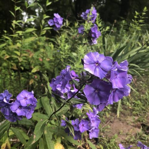 Phlox paniculata 'Blue Paradise' - blue flowering perennials