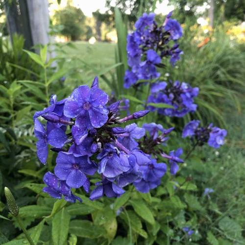 Tall Phlox 'Blue Paradise' - Phlox paniculata 'Blue Paradise' - perennial for sunny flower border