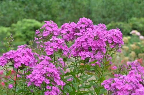 Phlox paniculata 'Robert Poore' - lovely summer perennial