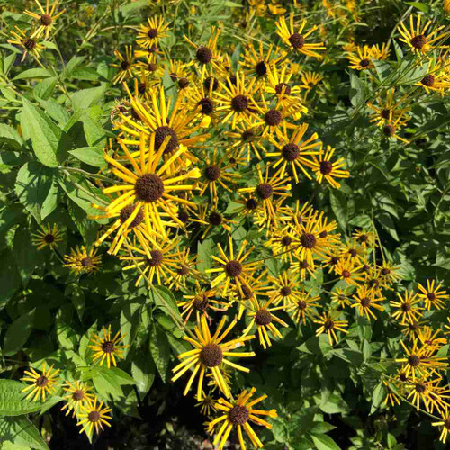Rudbeckia subtomentosa 'Henry Eilers' - Sweet Coneflower 'Henry Eilers' - late summer robust perennial for sunny borders