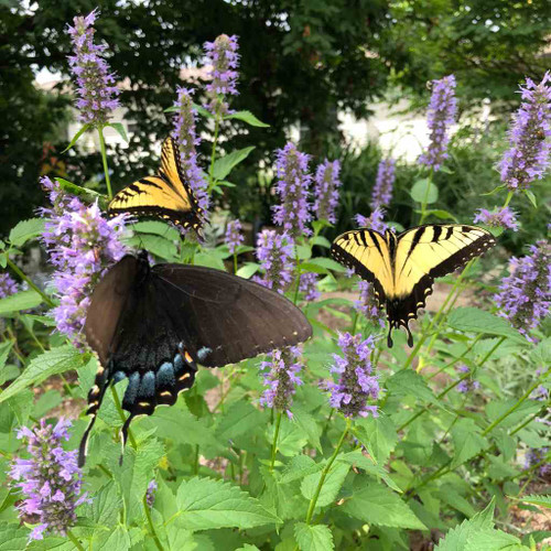 Agastache 'Black Adder' - Hyssop hybrid 'Black Adder' - great pollinator and butterfly plant