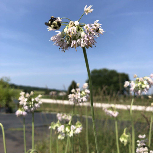 Nodding Onion - Allium cernuum - nice native wildflower and good pollinator plant