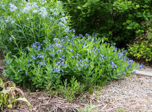 Amsonia x hybrida 'Blue Ice'  - very good ground covering perennial, from sun to light dappled shade, adaptable and deer tolerant