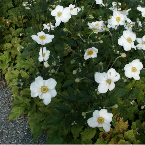 Anemone x hybrida 'Honorine Jobert' - Japanese Anemone 'Honorine Jobert' - awesome late summer perennial for sunny border or half shade garden with hosta or astilbe