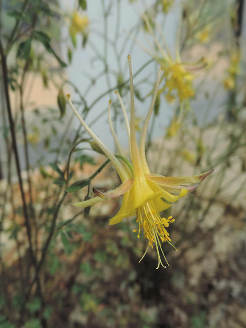 Aquilegia chaplinei - Chapli's columbine - perennial endemic to the Guadalupe Mountains in New Mexico and Texas, best in well drained, but not too dry soils in half shade
