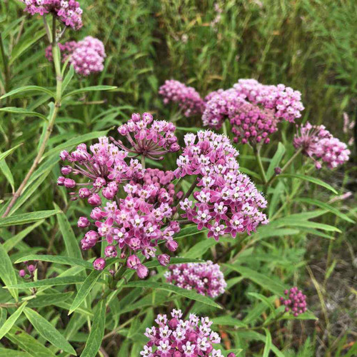 Swamp Milkweed - Asclepias incarnata - easy to grow clump perennial