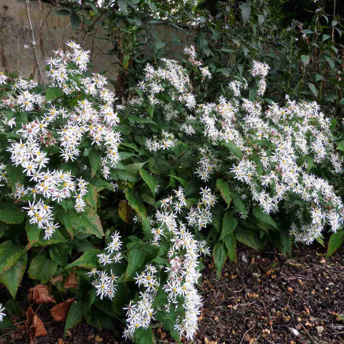Aster divaricatus - Eurybia divaricata - White Wood Aster - one of top five perennial asters for our gardens