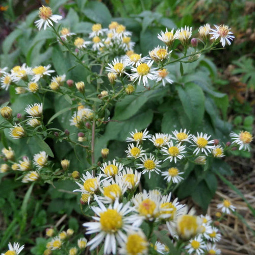 Aster lateriflorus 'White Lovely' - Calico aster 'White Lovely - cultivar of native perennial with small white flowers, horizontally arching branches. Butterfly plant